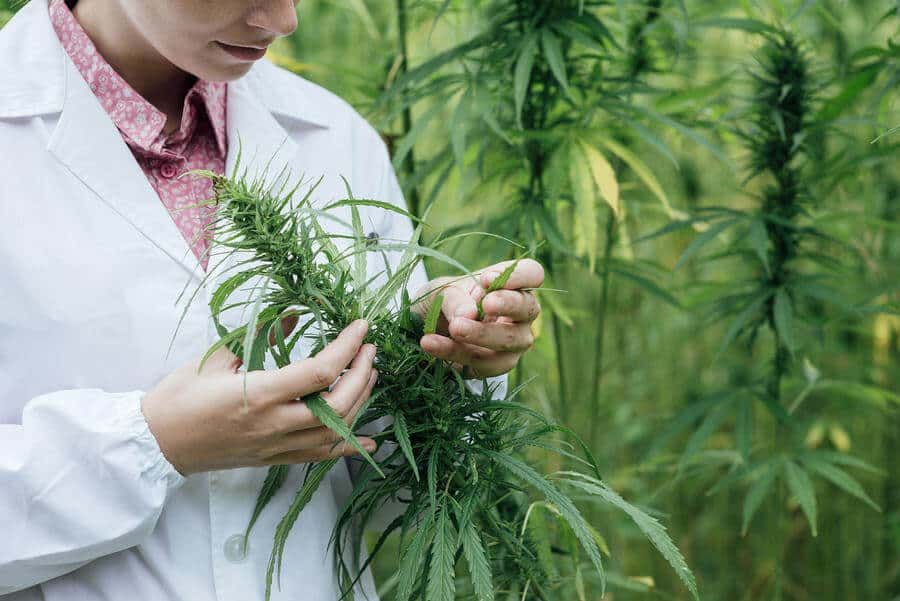 hemp researcher in the field