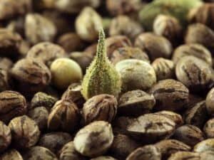 Feminized Hemp Seed available for amazing hemp flowers